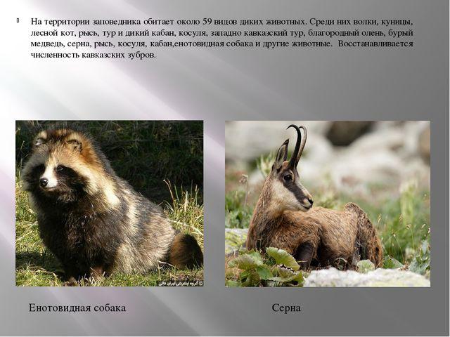 На территории заповедника обитает около 59 видов диких животных. Среди них во...