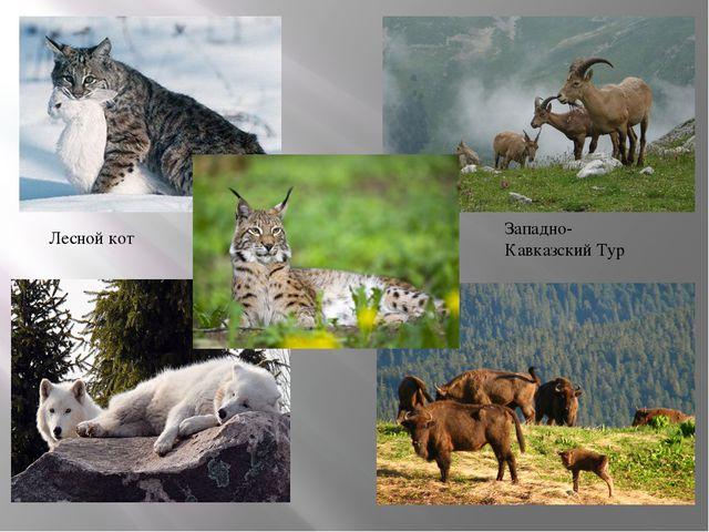 Западно-Кавказский Тур Лесной кот