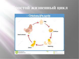 Простой жизненный цикл