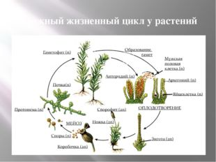 Сложный жизненный цикл у растений
