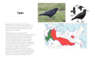 Грач Длина 43-50 см, масса 300-500 г. размах крыльев 88-100 см. Имеет характе