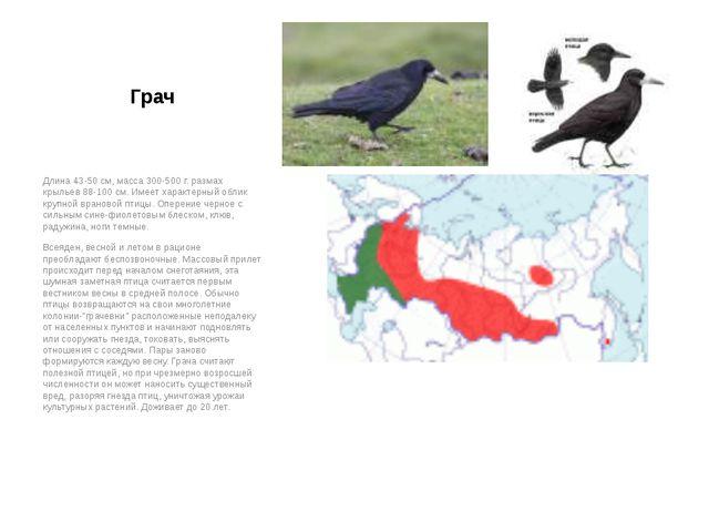 Грач Длина 43-50 см, масса 300-500 г. размах крыльев 88-100 см. Имеет характе...
