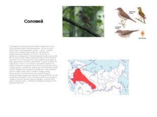 Соловей Справедливо считается лучшим певцом среди наших птиц. Песня громкая,