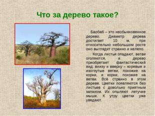 Что за дерево такое? Баобаб – это необыкновенное дерево. Диаметр дерева дости