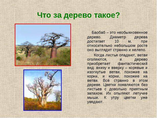 Что за дерево такое? Баобаб – это необыкновенное дерево. Диаметр дерева дости...