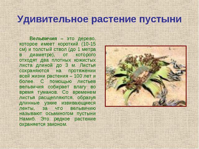 Удивительное растение пустыни Вельвичия – это дерево, которое имеет короткий...