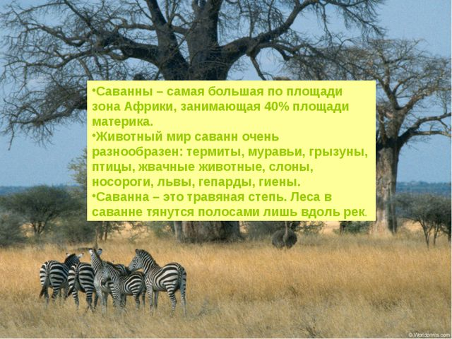 Саванны – самая большая по площади зона Африки, занимающая 40% площади матери...
