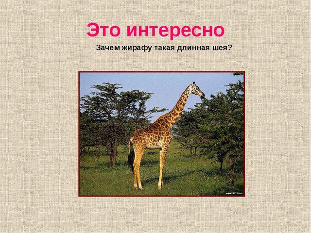 Это интересно Зачем жирафу такая длинная шея?
