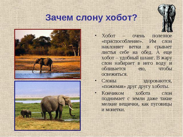 Зачем слону хобот? Хобот – очень полезное «приспособление». Им слон наклоняет...