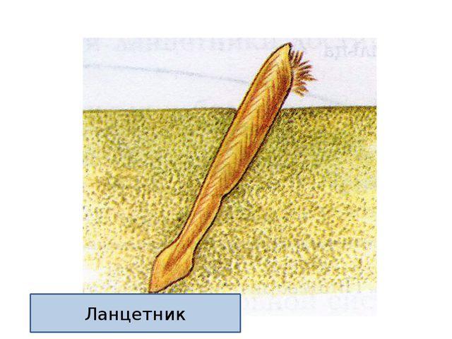 Ланцетник