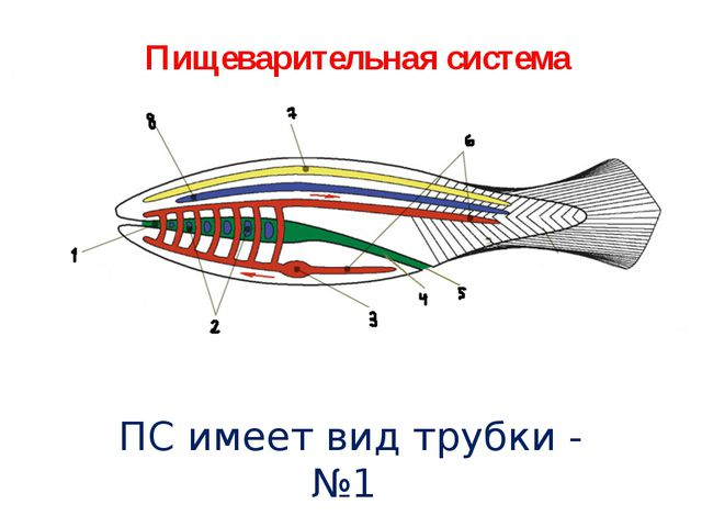 Пищеварительная система ПС имеет вид трубки - №1
