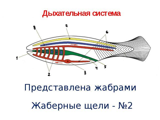 Дыхательная система Представлена жабрами Жаберные щели - №2