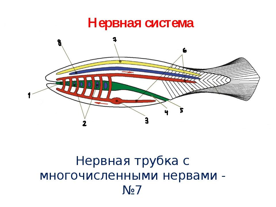Нервная система Нервная трубка с многочисленными нервами - №7