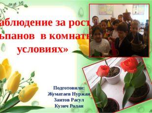 « Наблюдение за ростом тюльпанов в комнатных условиях» Подготовили: Жуматаев