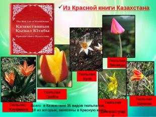 Из Красной книги Казахстана Тюльпан Кауфмана Тюльпан Грейга Тюльпан Бузе Тюль