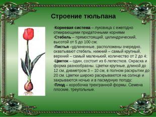 Корневая система – луковица с ежегодно отмирающими придаточными корнями Стебе