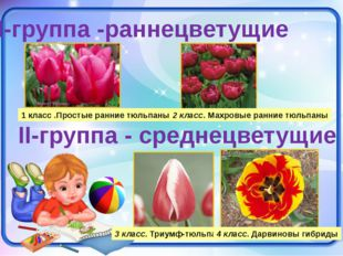 I-группа -раннецветущие 1 класс .Простые ранние тюльпаны II-группа - среднецв