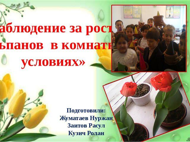 « Наблюдение за ростом тюльпанов в комнатных условиях» Подготовили: Жуматаев...