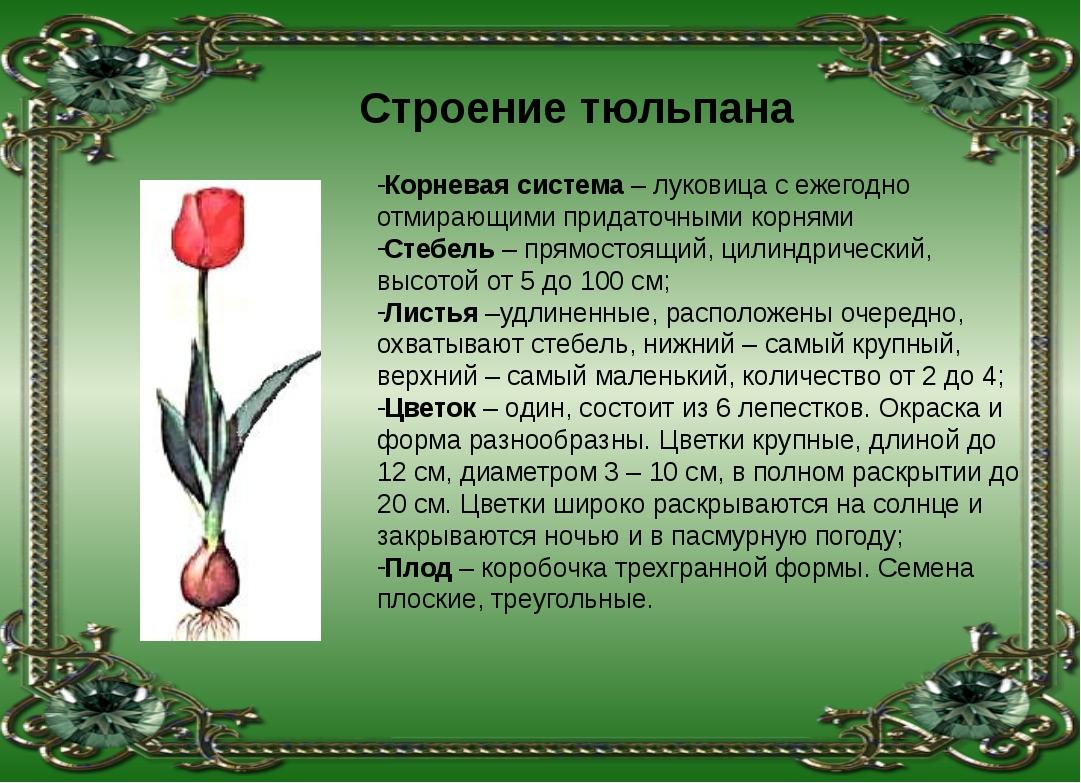 Корневая система – луковица с ежегодно отмирающими придаточными корнями Стебе...