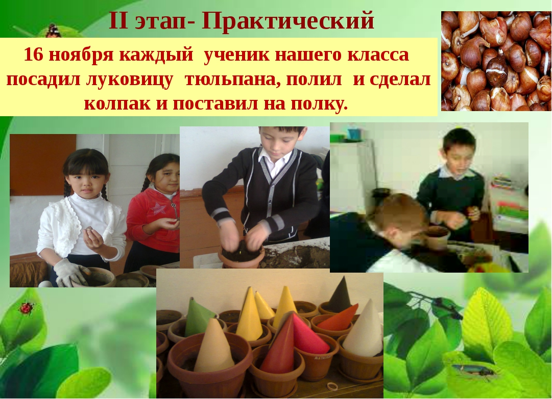 II этап- Практический 16 ноября каждый ученик нашего класса посадил луковицу...