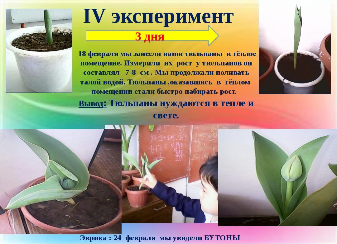 IV эксперимент 18 февраля мы занесли наши тюльпаны в тёплое помещение. Измери...