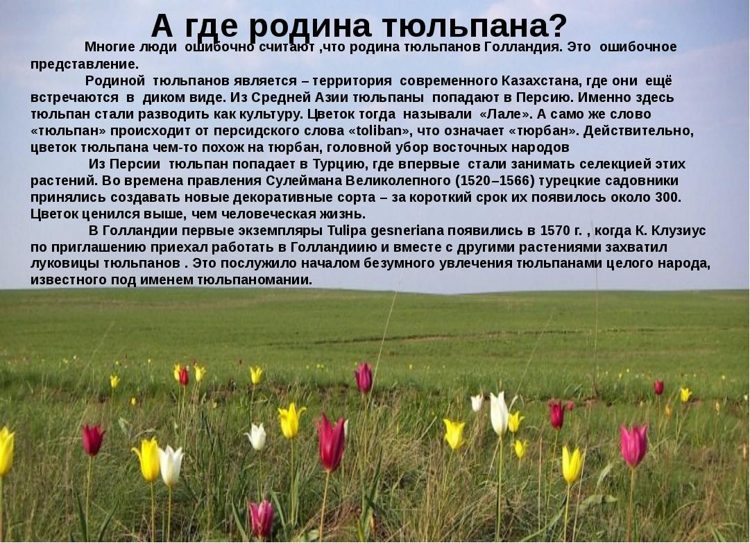 А где родина тюльпана? Многие люди ошибочно считают ,что родина тюльпанов Гол...
