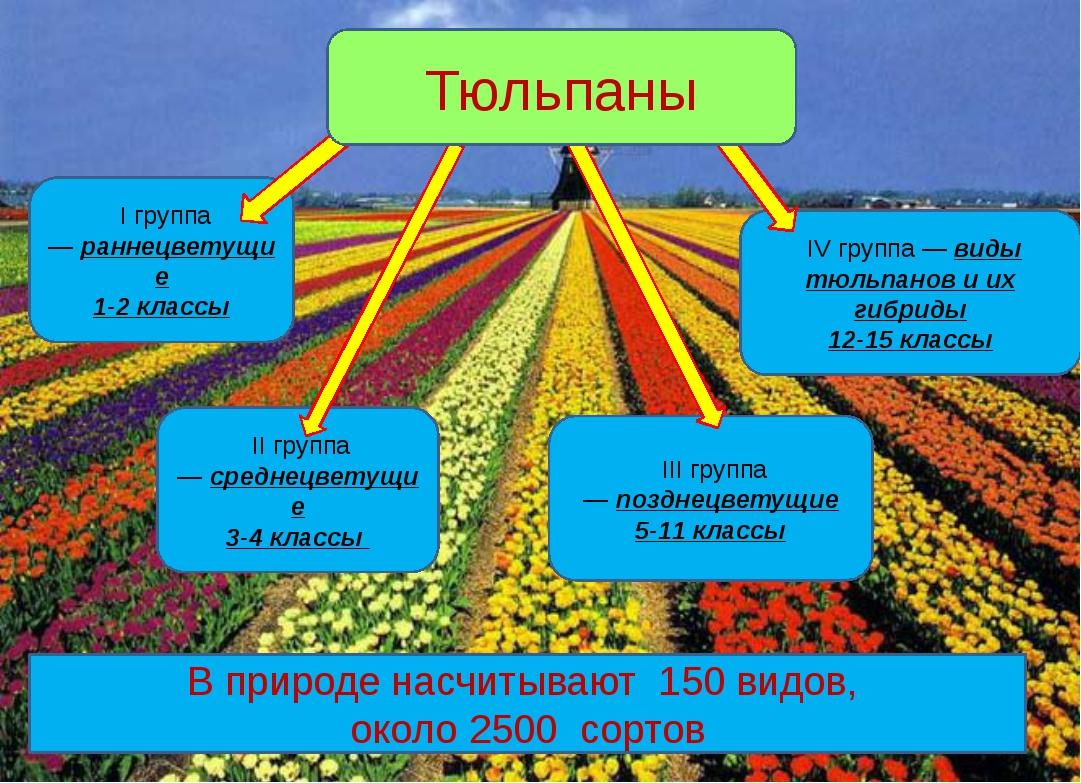 IV группа —виды тюльпанов и их гибриды 12-15 классы I группа—раннецветущие...