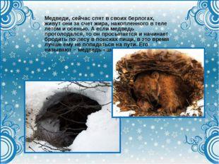 Медведи, сейчас спят в своих берлогах, живут они за счет жира, накопленного в