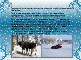 Лоси населяют различные леса, заросли по берегам степных рек и озёр. Зимой ло