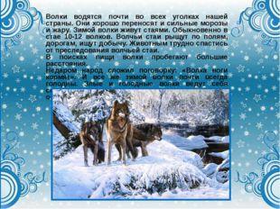 Волки водятся почти во всех уголках нашей страны. Они хорошо переносят и силь