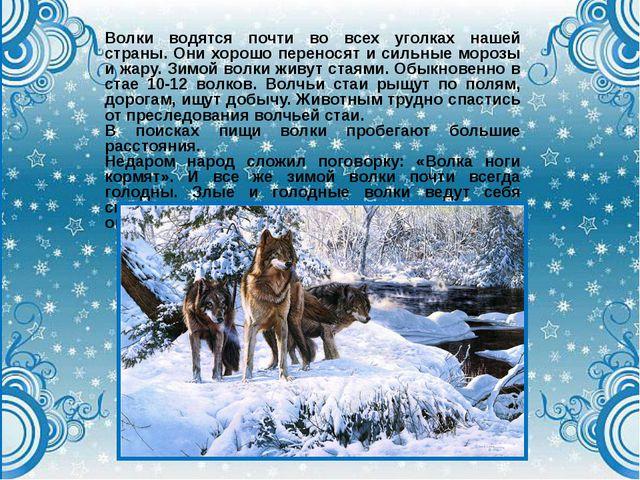 Волки водятся почти во всех уголках нашей страны. Они хорошо переносят и силь...