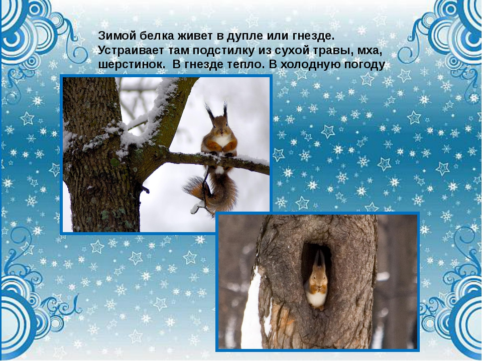 Зимой белка живет в дупле или гнезде. Устраивает там подстилку из сухой травы...