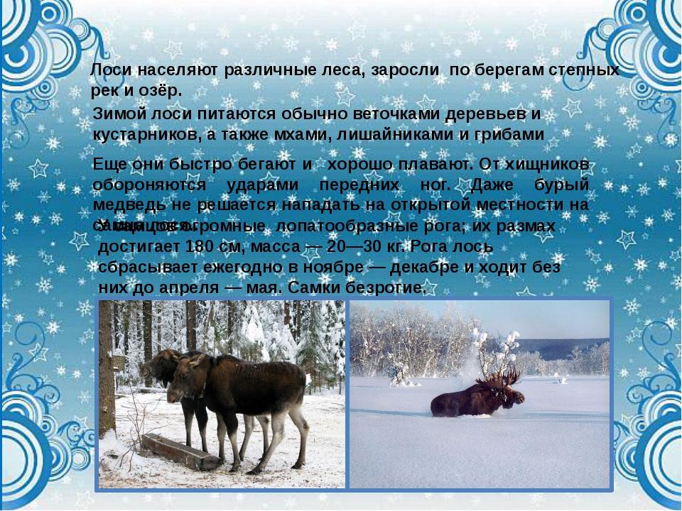 Лоси населяют различные леса, заросли по берегам степных рек и озёр. Зимой ло...