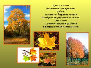 Клены осенью фантастически красивы. Падая, золотые и багряные листья Беззвучн