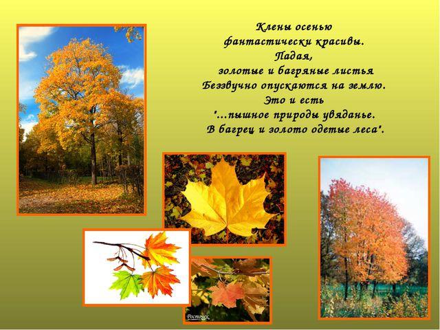 Клены осенью фантастически красивы. Падая, золотые и багряные листья Беззвучн...