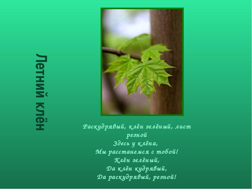 Летний клён Раскудрявый, клён зелёный, лист резной Здесь у клёна, Мы расстан...