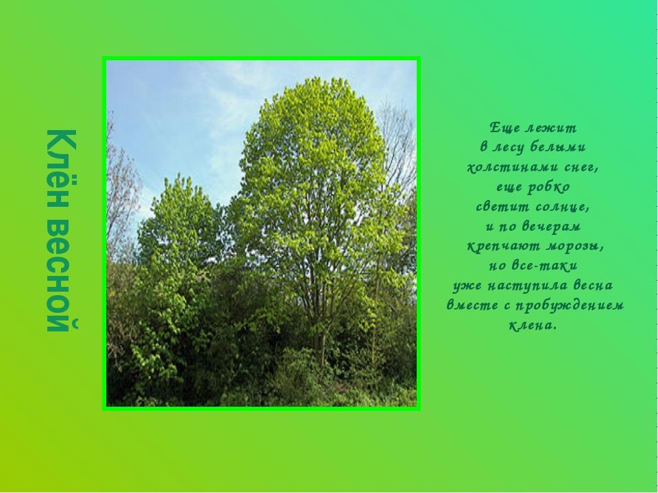 Клён весной Еще лежит в лесу белыми холстинами снег, еще робко светит солнце,...