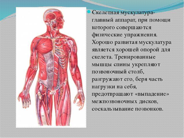 Скелетная мускулатура- главный аппарат, при помощи которого совершаются физи...