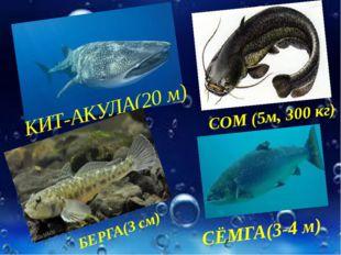 КИТ-АКУЛА(20 м) СОМ (5м, 300 кг) БЕРГА(3 см) СЁМГА(3-4 м)
