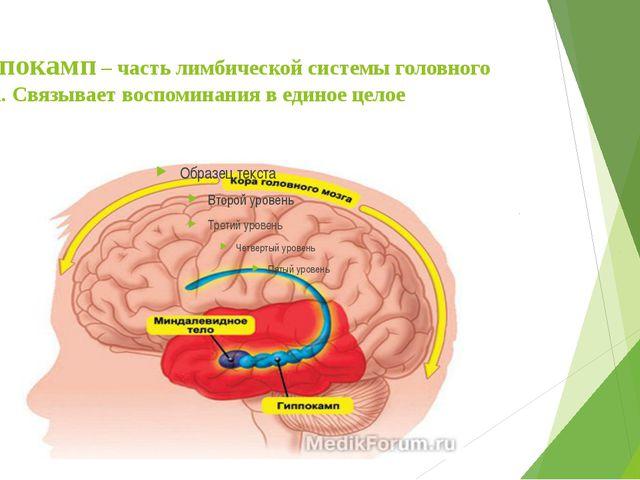 Гиппокамп – часть лимбической системы головного мозга. Связывает воспоминания...