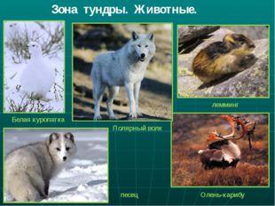 Зона тундры. Животные. Белая куропатка Полярный волк лемминг песец Олень-карибу