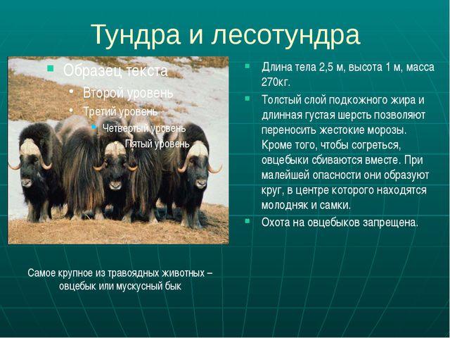 Тундра и лесотундра Длина тела 2,5 м, высота 1 м, масса 270кг. Толстый слой п...