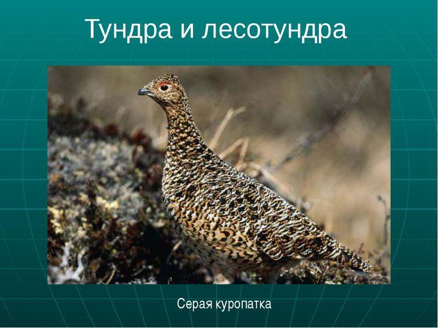 Тундра и лесотундра Серая куропатка