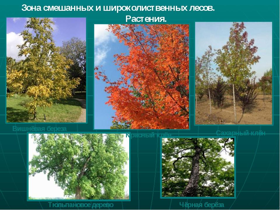 Зона смешанных и широколиственных лесов. Растения. Вишнёвая береза Красный кл...