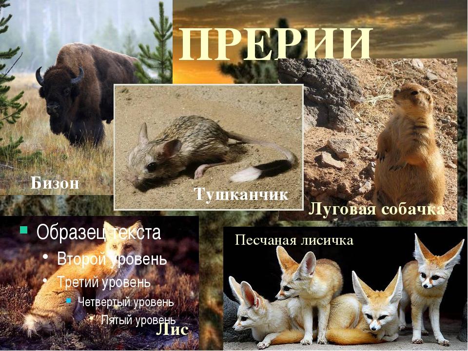 ПРЕРИИ Луговая собачка Лис Песчаная лисичка Тушканчик Бизон