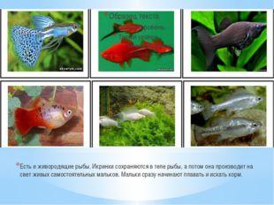 Есть и живородящие рыбы. Икринки сохраняются в теле рыбы, а потом она произво