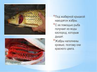 Под жаберной крышкой находятся жабры. С их помощью рыба получает из воды кисл