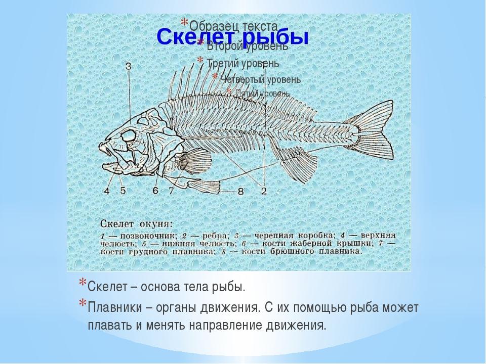 Скелет – основа тела рыбы. Плавники – органы движения. С их помощью рыба може...