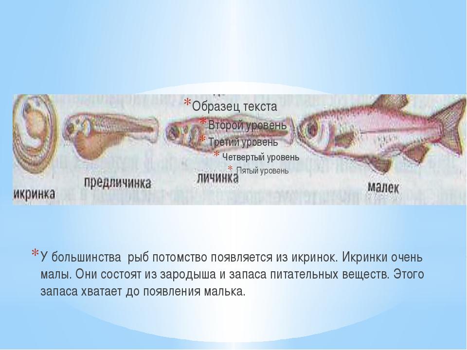 У большинства рыб потомство появляется из икринок. Икринки очень малы. Они со...