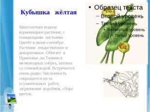 Кубышка жёлтая Многолетнее водное корневищное растение, с плавающими листьями